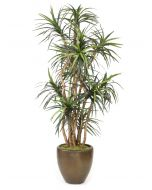8' Dracaena Tree in Metallic Bronze Stoneware Planter