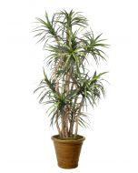 8' Dracaena Tree in Tuscan Brown Terracotta Patio Pot