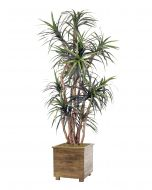 8' Dracaena Tree in Stained Rustic Wood Planter