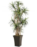 8' Dracaena Tree in Tall Flared Graphite Black Metal Planter