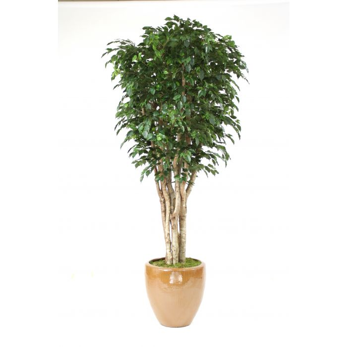 11 Deluxe Ficus Tree In Large Stoneware Pot Distinctive Designs